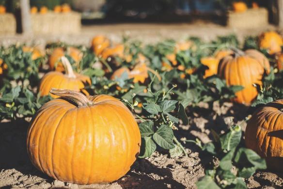 Schnepf pumpkin patch 4
