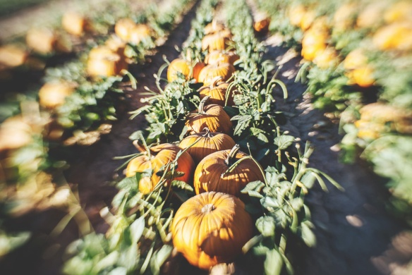 Schnepf pumpkin patch